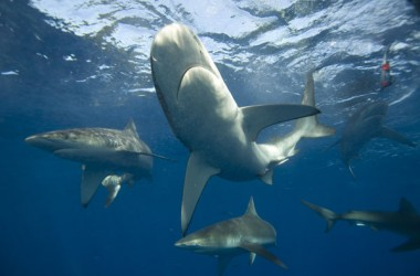 Canal Sharks : Stéphan Gerin, Germain Gillard et 'Plz Shove' s'éclatent en .fr