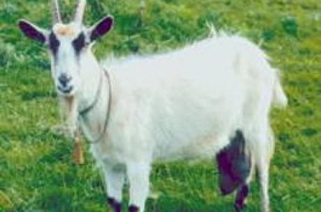 オンラインサイトは褒賞として'ポーカー・山羊(Goats)'を与える