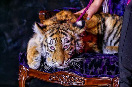 Russia Unveils the Tigre de Cristal Casino